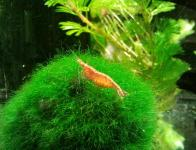 Crevettes Red Cherry (Neocaridina heteropoda var. red)