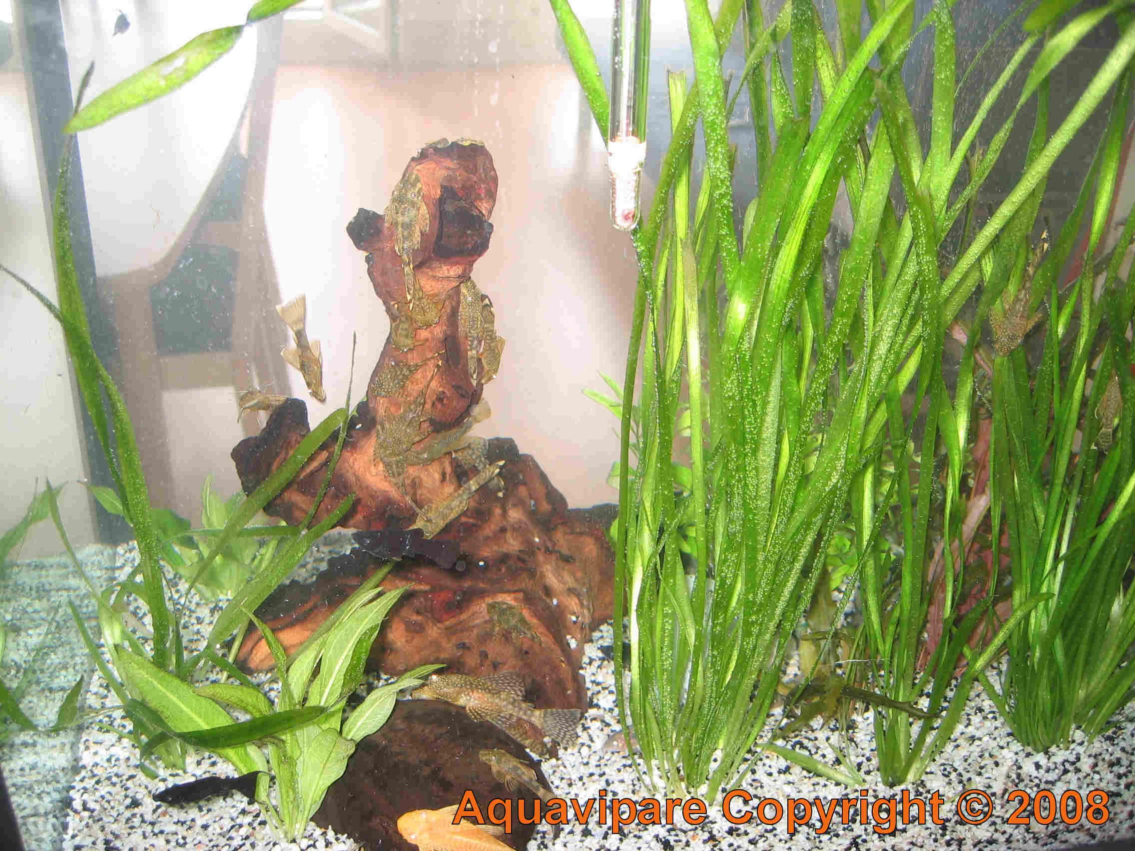 Pr paration et installation d 39 une racine souche branche for Racine pour aquarium