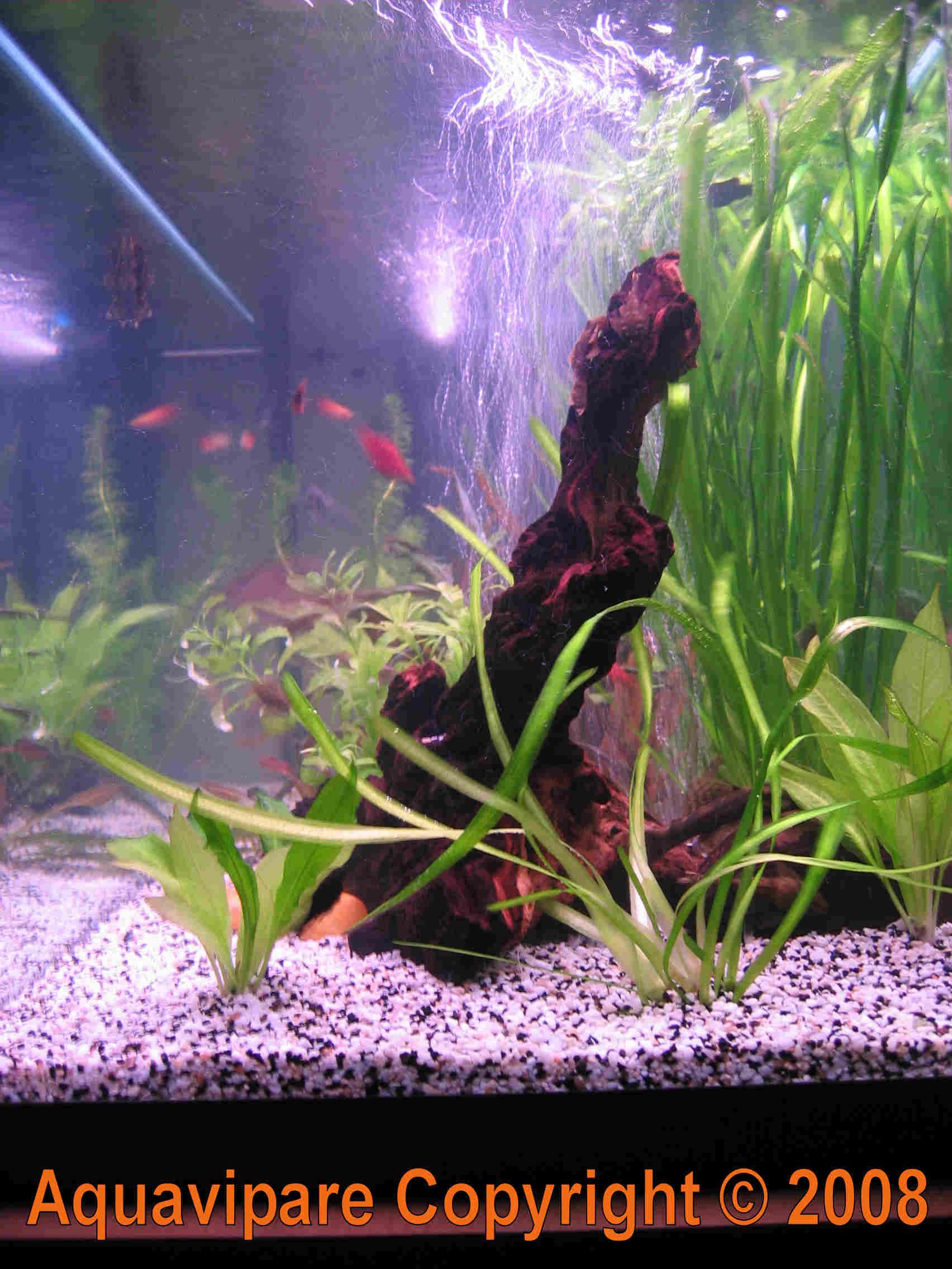 Pr paration et installation d 39 une racine souche branche for Racine aquarium