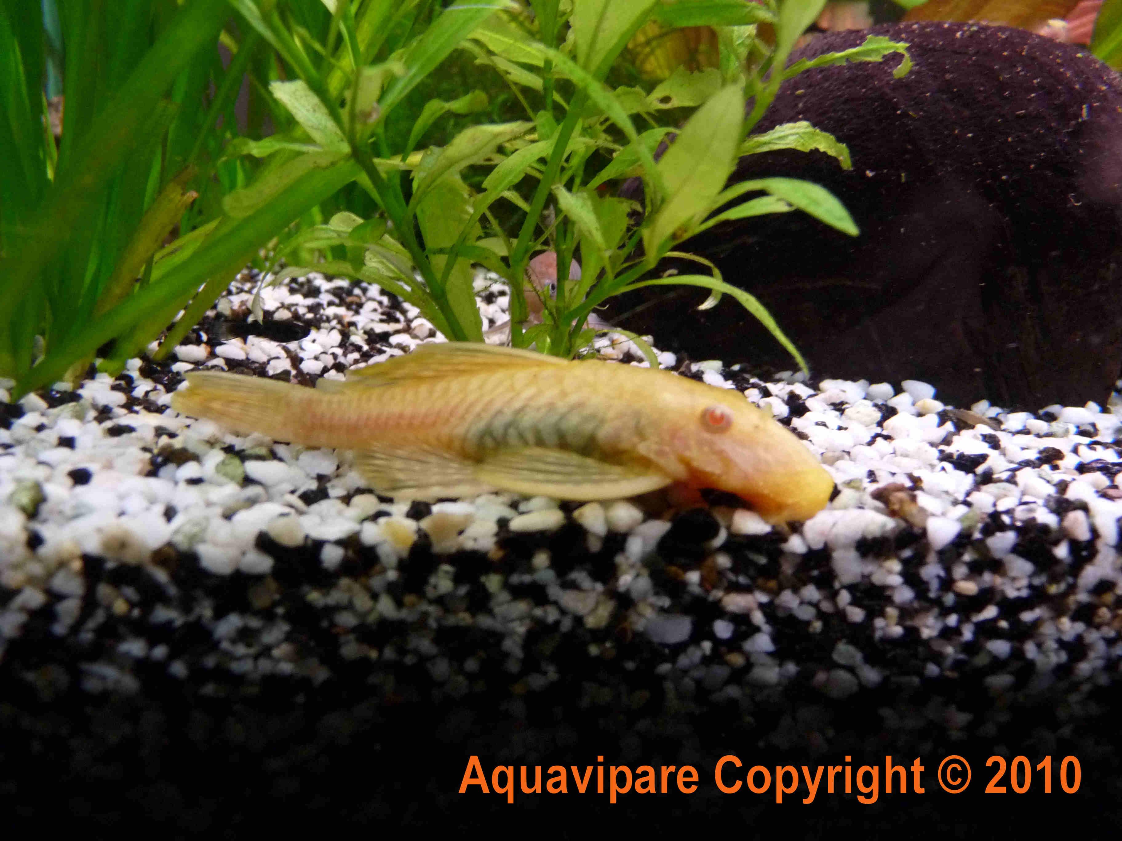 La reproduction des ancistrus gold albinos for Nettoyeur aquarium poisson